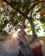 Picking oranges at sunset